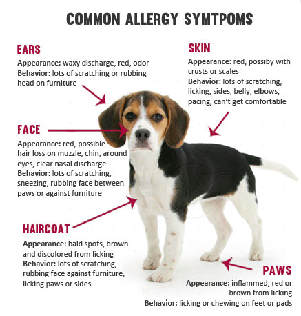 allergy-symtoms-in-dogs-diagram